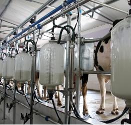 Άρμεγμα αγελάδας